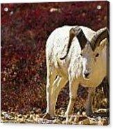 Dall Sheep Acrylic Print