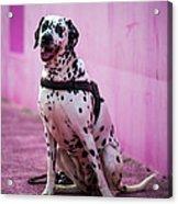 Dalmatian 6 Acrylic Print