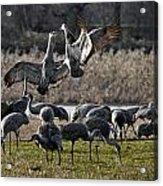 Dance Of The Cranes Acrylic Print