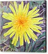 Dandelion Acrylic Print by Linda Pope