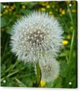Dandelion Seed Acrylic Print