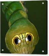 Dead-leaf Moth Caterpillar Eye Spots Acrylic Print