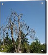 Dead Tree With Crow Acrylic Print
