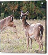 Deer At Paynes Prairie Acrylic Print