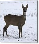 Deer In The Snow Netherlands Acrylic Print