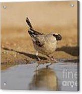Desert Finch Carduelis Obsoleta Acrylic Print