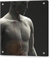Digestive System Male Acrylic Print