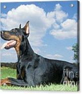 Doberman Pinscher Dog Acrylic Print