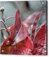 Dogwood  Autumn Acrylic Print