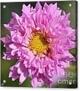 Double Click Cosmos Named Rose Bonbon Acrylic Print