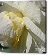 Double Daffodil Named White Lion Acrylic Print