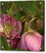 Double Lenten Rose Acrylic Print