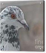 Dove Pigeon Acrylic Print