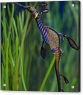 Dragon Seahorse Acrylic Print