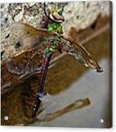 Dragonfly Dreams Acrylic Print