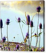 Dream Field Of Teasels Acrylic Print