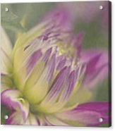 Dreamy Dahlia Acrylic Print