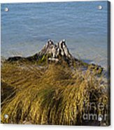 Driftwood In Beach Grass Acrylic Print
