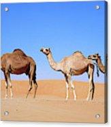 Dromedary Camel (camelus Dromedarius Acrylic Print