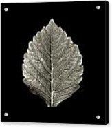 Dry Leaf 1 Acrylic Print