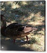 Duck - Animal - 011312 Acrylic Print