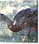 Duck - Animal - 011313 Acrylic Print