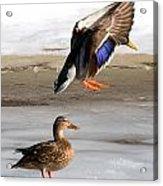 Ducking Around Acrylic Print
