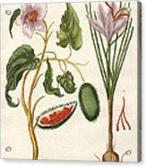 Dye Plants Acrylic Print