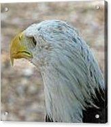 Eagle 3  Acrylic Print
