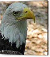 Eagle 1 Acrylic Print