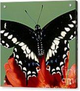 Eastern Black Swallowtail Butterfly Acrylic Print