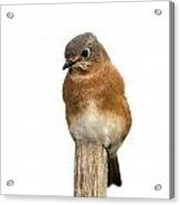 Eastern Bluebird 1 Acrylic Print