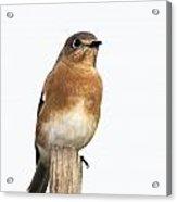 Eastern Bluebird 2 Acrylic Print