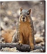 Eastern Fox Squirrel Acrylic Print