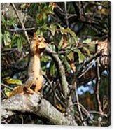 Eastern Fox Squirrel Acrylic Print