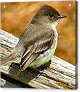 Eastern Kingbird Acrylic Print