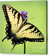 Eastern Tiger Swallowtail Butterfly Square Acrylic Print