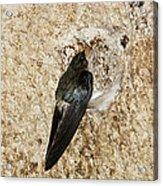 Edible-nest Swiftlet On Nest Acrylic Print