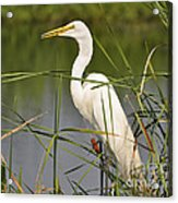 Egret In The Cattails Acrylic Print