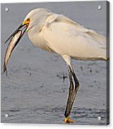 Egret With Fish Acrylic Print