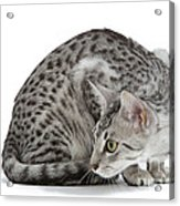 Egyptian Mau Cat Acrylic Print
