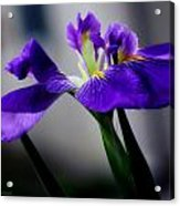 Elegant Iris Acrylic Print