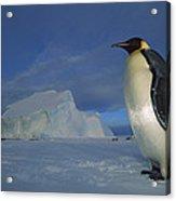 Emperor Penguins At Midnight Antarctica Acrylic Print