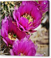 Engleman's Hedgehog Cactus Acrylic Print