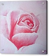 English Rose Acrylic Print