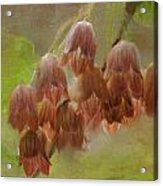 Enkianthus Bells Acrylic Print