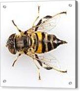 Eristalinus Taeniops Hoverfly Isolated Oin White Background Acrylic Print