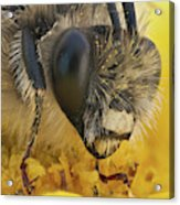 Eucera Longicornis Portrait 4.5x Acrylic Print