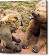 Eurasian Brown Bears Fighting Acrylic Print