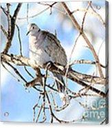 Eurasian Collard Dove Acrylic Print